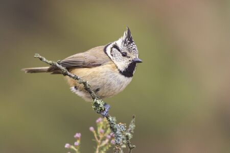 Selective approach of European Crested Tits, Lophophanes cristatus, a small bird with a crest on its head, on an unfocused background. Spain
