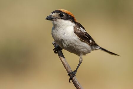 Woodchat Shrike, Senator Lanius, perched on a tree branch on a clear unfocused background . Spain
