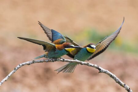European Bee-eater, Merops apiaster, two individuals perched on a branch with open wings on a blurred background. Spain