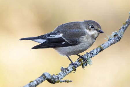 Pied flycatcher, Ficedula hypoleuca, an individual perched on a branch against an unfocused yellow background. Spain