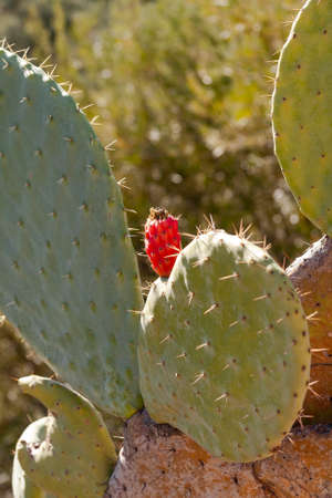 Opuntia or ficus-indica cactus plant with ripe cactus fig fruit. Edible red fruit. Morocco
