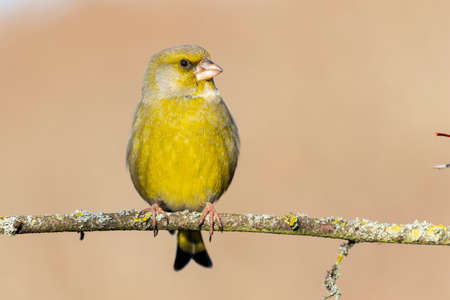 European greenfinch (chloris chloris) on a forest branch on an unfocused background