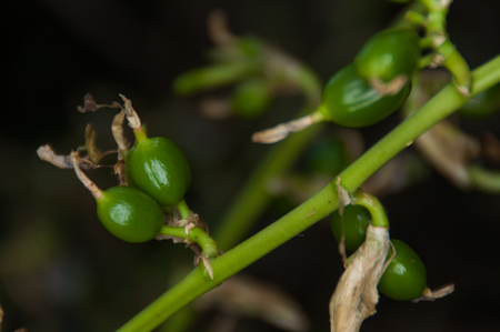 カルダモンの植物 写真素材