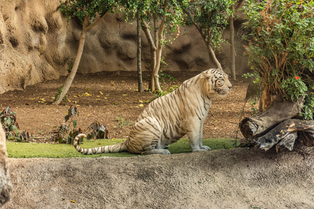 Animal welfare in a zoo. White tiger in a zoo in good condition Stock Photo