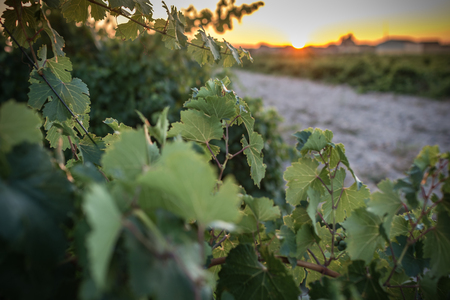 The vineyards in the district of Nieva (Segovia, Spain) date from the 12th century. White wines of the highest quality grapes, belonging to Rueda Designation of Origin Wine Stockfoto