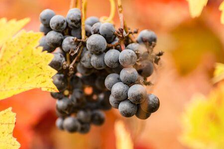 Red vineyards in the appellation of origin The valleys of Benavente in Zamora (Spain) 写真素材