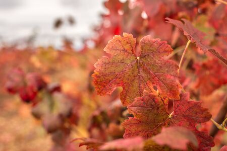 Red grape leaves in autumn