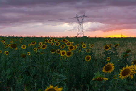 Landscape of a field of sunflowers and in the background electric conduction lines Imagens
