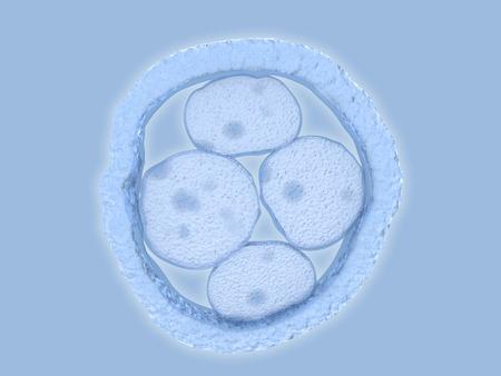 Embryo, 4 cells