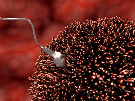 prenatal development: Fecundation, sperm penetrating into the egg cell