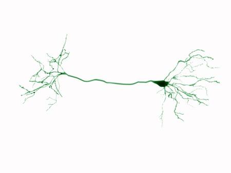 cortical: Pyramidal neuron