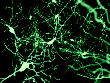 fluorescence: Neuron marked by fluorescence