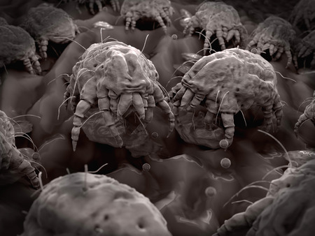 Dust mites closeup