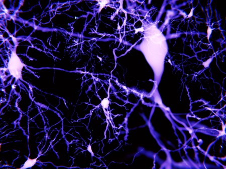neurotransmitter: Pyramidal neurons fluorescence-marked. They are found in the cerebral cortex, the hippocampus and the amygdala.