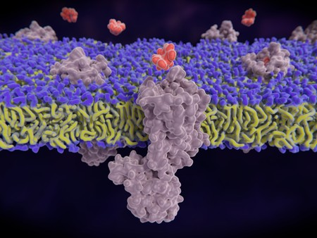 µ1-opioid receptor binding an opioid substance (morphine). opioid receptors display a role in modulating pain perception; opioid agonists are potent analgesics. Endogenous opioids are enkephalin, dynorphin, endorphin an. 3d rendering