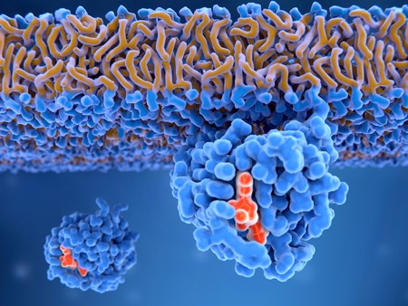 Activated Ras protein attached to the cell membrane  Ras proteins are involved in transmitting signals within cells turning on genes involved in cell growth, differentiation and survival. Mutations in ras genes can lead to permanently activated proteins causing cells to subdivide without control,