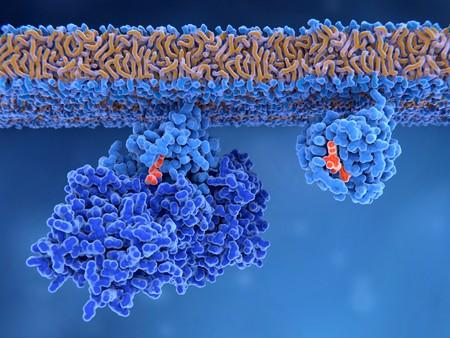 Activering van een Ras-eiwit Inactief Ras-eiwit (links) wordt geactiveerd door een GEF-eiwit dat de bindingsplaats opent waardoor GDP kan verlaten. Nadien kan GTP binden aan RAS en het in de actieve vorm veranderen (rechts). Ras-eiwitten zijn betrokken bij het overbrengen van signalen in cellen die genen inschakelen die betrokken zijn bij celgroei, differentiatie en overleving. Stockfoto