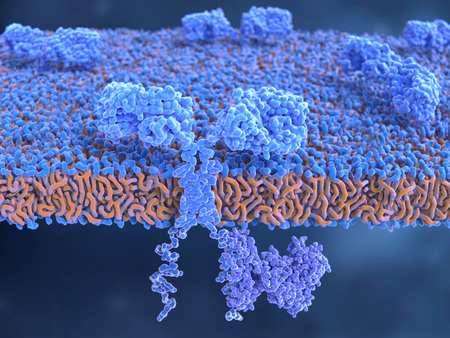Chimeric antigen receptor CARs are engineered cell receptors that allow T cells to recognize and attack cancer cells in a specific way. They are built by connecting several functional parts from different proteins. In this image a signal protein (ZAP70) is attached to the intracellular domain.
