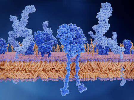 T-cell  receptors (dark blue), CD4 molecules (light blue), glycolipids (orange).  The T-cell receptor activates the immune response to antigens in T-lymphocytes
