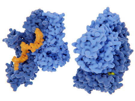 HIV-1 reverse transcriptase (RT) complexed with two different inhibitors. Left: RT with a nucleoside inhibitor 30 (orange), right: RT with a non nucleoside inhibitor (yellow) Stock Photo