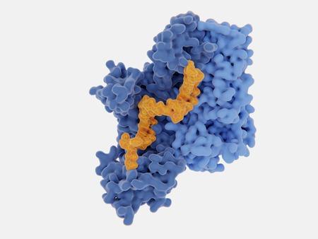 Transcriptasa inversa (RT) del VIH-1 complejada con inhibidor de 30 nucleósidos (naranja)