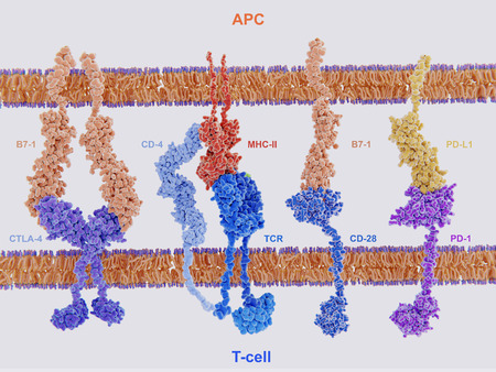Membrane proteins involved in the activation and inhibition of the immune system through the interaction of antigen presenting cells and T-cells. The interaction of MHC-II with the T-cell receptor and CD4 and B7-1 with CD-28 activates T-cells during the interactions of P7-1 with CTLA-4 and PD-L1 with PD-1 deactivates T-cells. Фото со стока - 110368016