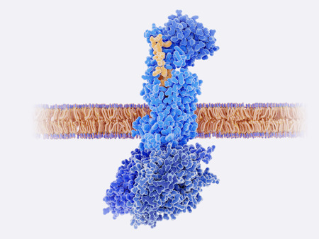 The calcitonin gene related peptide (yellow) binds to its receptor (blue) on neurons and smooth muscle cells of cerebral blood vessels, activating a signal cascade through G-proteins (dark blue) in this cells that  leads to a dilatation of the blood vessels (vasodilatation).