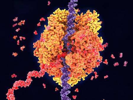 ARN polimerasa II que transcribe ADN en ARN. Desenrolla hebras de ADN (violeta) y construye ARN (rojo) a partir de los nucleótidos uridina, adenosina, citidina y monofosfato de guanosina.