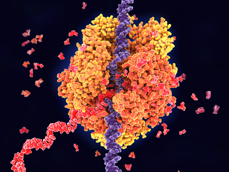 RNA polymerase II transcribing DNA into RNA. It unwinds DNA strands (violet) and buids RNA (red) out of the nucleotides uridine, adenosine, cytidine and guanosine monophosphate.