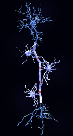 Myelin sheats insulate the axon from electrical activity. This insulation increases the rate of transmission of signals, which spring from gap to gap. Фото со стока - 126486961