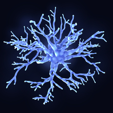 Protoplasmic astrocytes are found in the gray matter of the brain. They support neurons in a metabolic and structural way and regulate the ion concentration in the extracellular space.