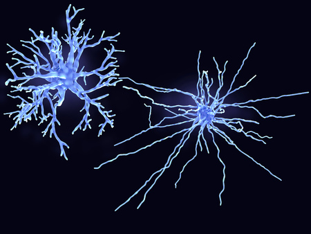 Protoplasmic astrocytes are found in the gray matter and the fibrous in the white matter of the brain. They support neurons in a metabolic and structural way and regulate the ion concentration in the extracellular space. Fibrous astrocytes Standard-Bild