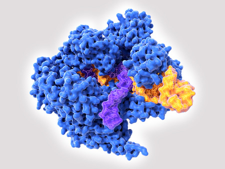 Cas9 uses CRISPR sequences to recognize and cleave specific strands of DNA. It is used as a specific and easy way to edit genes. Source: PDB entry 5b2r Stockfoto