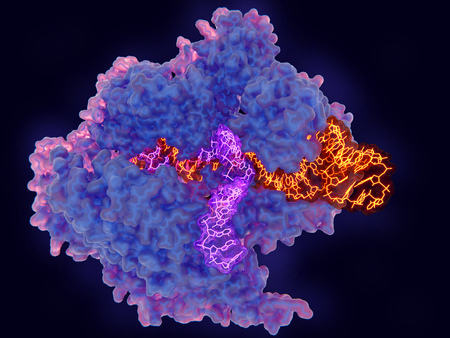 Cas9 uses CRISPR sequences to recognize and cleave specific strands of DNA. It is used as a specific and easy way to edit genes. Source: PDB entry 5b2r Standard-Bild
