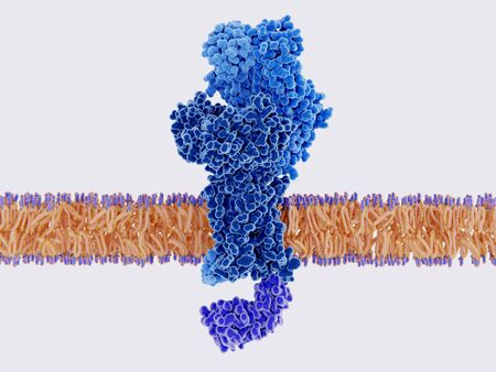 T cell receptor bound to a cell membrane