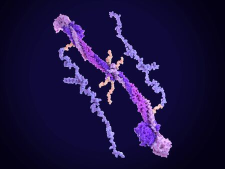Fibrinogen turns to fibrin by the catalysis of thrombin, that cleaves the short flexible arms in the middle of the molecule. Hence fibrin polymerizes and  builds with platelets a clot over blood vessel injuries. PDB entries: 1m1j, 2baf. Standard-Bild