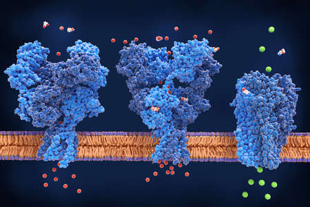 From left to right: the NMDA and AMPA receptors transport calcium cations into neurons after being activated by the neurotransmitter glutamate and the GABA receptor (right) transport chloride anions after the activation by gamma aminobutyrate. PDB entries: 6wht, 3kg2, 6d6u