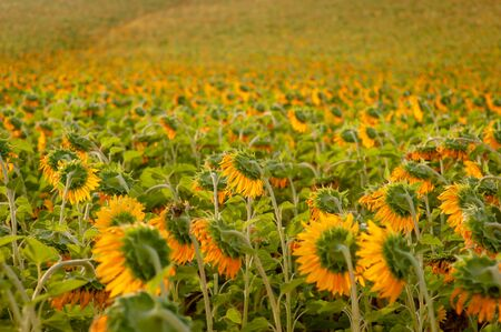 Blooming sunflower in green background in direct sunlight. General view about a sunflower field