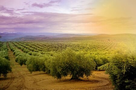 view of an olive field at sunset