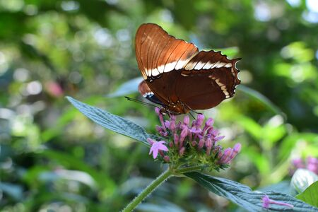 Butterfly Siproeta epaphus from the botanical garden of medellin colombia Stock Photo