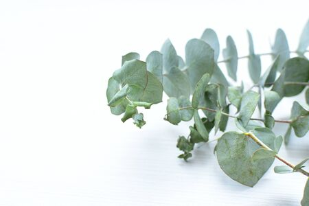 Eucalyptus or Eucalyptus (Eucalyptus) green dry leaves in corsage and loose on light background Archivio Fotografico