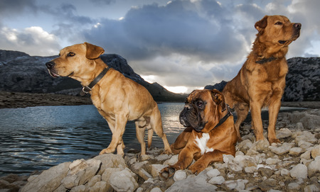 labrador teeth: sunset winter picture  with dogs and cuber lake in majorca