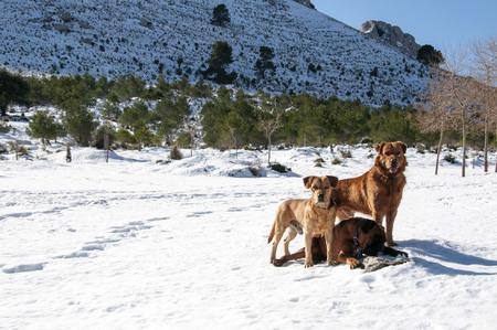 sierra snow: dogs playing in the snow in the Sierra de Tramuntana in majorca