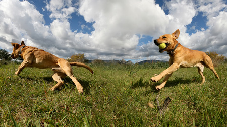 labrador teeth: photograph of a dog playing in the field Stock Photo