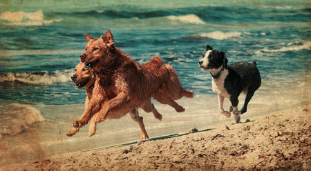 labrador teeth: vitage photograph of a dog playing in the beach