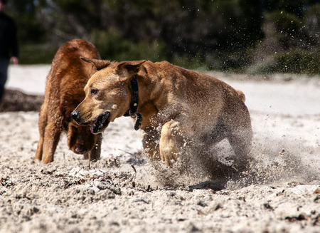 labrador teeth: photograph of a dog playing in the beach Stock Photo
