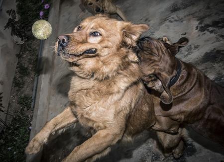 labrador teeth: photograph of a dog playing with ball Stock Photo