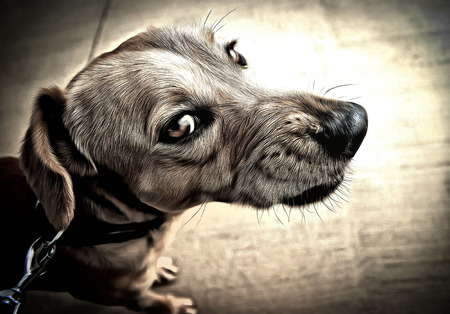 kampfhund: wütend Hund