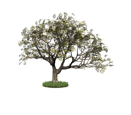 large tree: illustration of a tree with white background