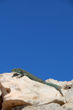 formentera: reptile in formentera, spain Stock Photo